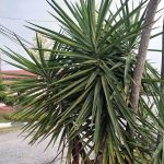 Pokok Yucca