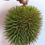Durian Hutan @ Hulu Langat