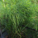 Pokok Asparagus