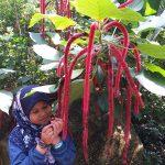 Pokok Ekor Kucing